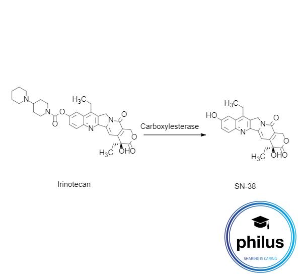 Umwandlung von Irinotecan zu SN-38 durch Carboxylesterase