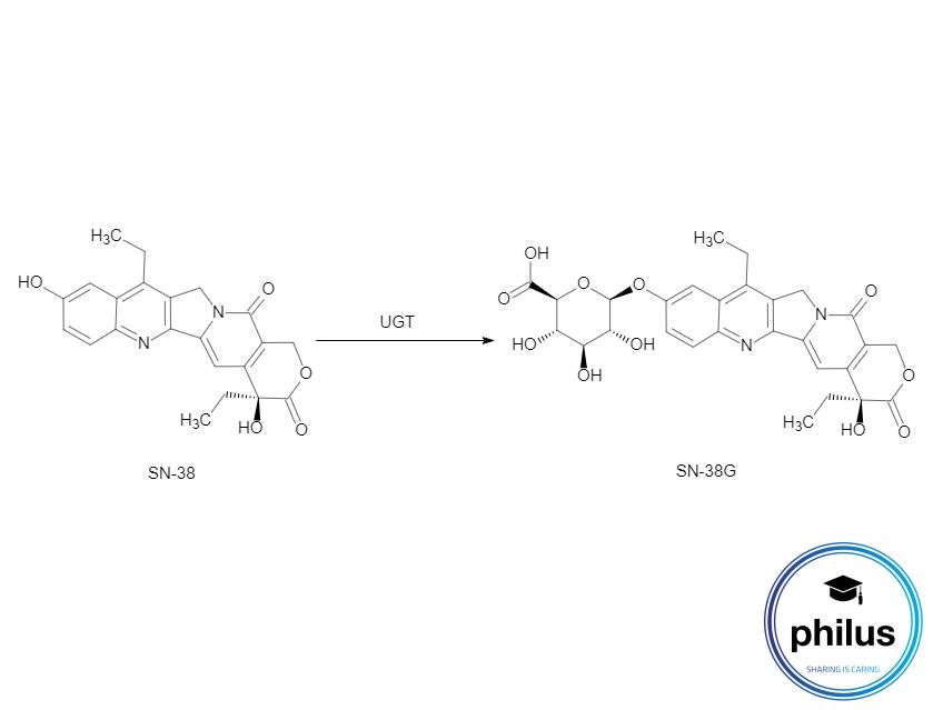 Umwandlung von Irinotecan-MetabolitSN-38 zu SN-38G durch Uridindiphosphat-Glucuronosyl-Transferasen (UGT)